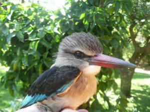 KIngfisher at Thabaphaswa